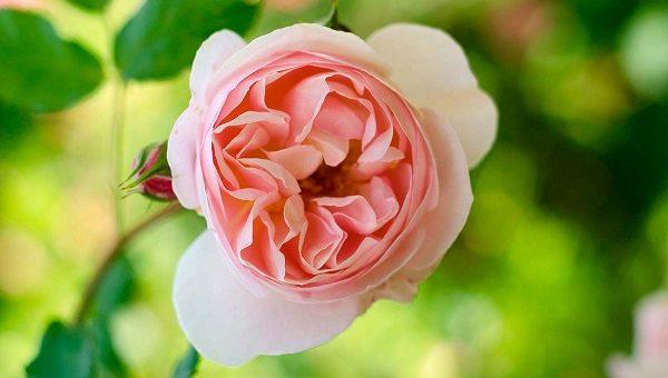 Marco Mazza rose