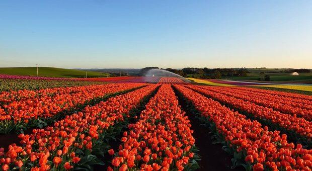 Tulipani italiani il primo campo u pick di fiori in italia for Tulipani italiani