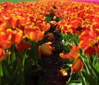 tulipani italiani 2019