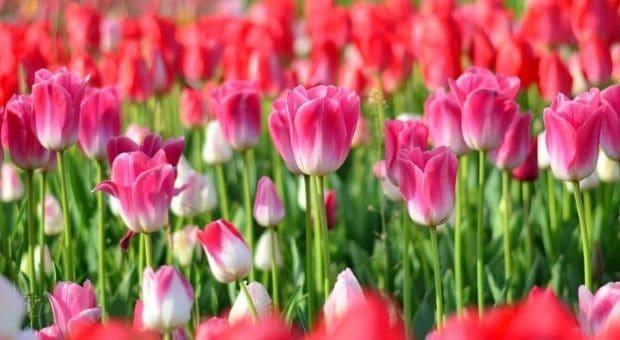 tulipani milano 2019