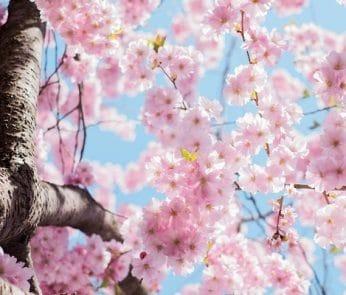 fiori-ciliegio-milano